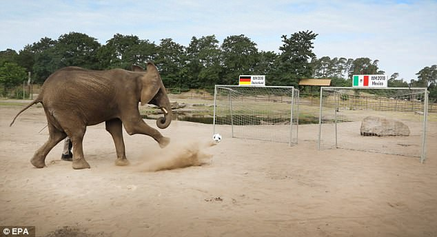 Eight-year-old female African elephant Nelly was asked to take part in a penalty shootout to choose the winner of Germany's opener