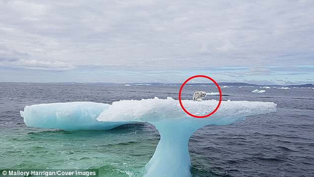 At first,Mallory Harrigan and boyfriend Cliff Russell thought the creature (circled) they were looking at was a baby seal but soon realized it was a stranded Arctic fox