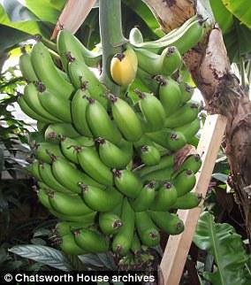 Die heutigen Gewächshäuser im Chatsworth House (Bild) produzieren noch immer Cavendish-Bananen