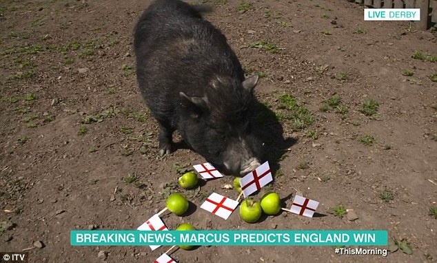 Right decision:Watching via a video link from their London-based This Morning studio, the presenting duo eagerly waited as Marcus headed toward a pile of apples with England flags stuck into them in his pigsty in Derby