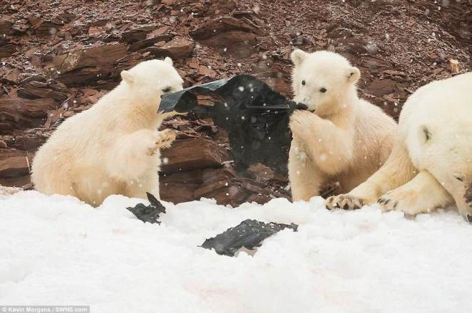 These unsettling pictures show two adorable polar bear cubs playing with a large sheet of plastic on a remote Arctic island. Scientists have previously warned the pristine waters of the Arctic are turning into a floating rubbish dump