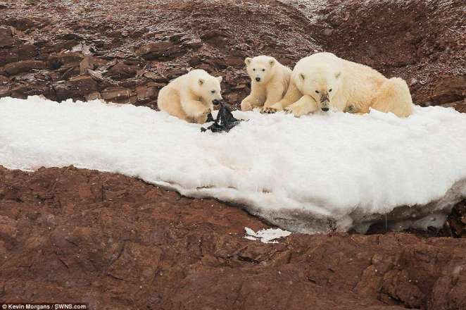 Although twice the size of Belgium, Svalbard's human population is outnumbered by polar bears.'What we found on the beaches was sadly not so very different from what we find back home', Claire Wallerstein said