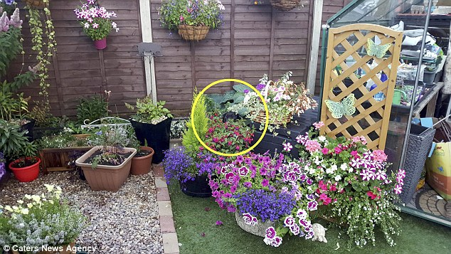 TheStaffordshire Bull terrier is hiding between black plant pots and blends in thanks to his black fur coat