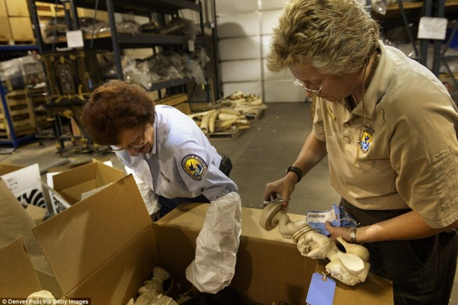 Elephant tusks are carved and shipped off to Asia, before they were confiscated at American ports, despite being illegal