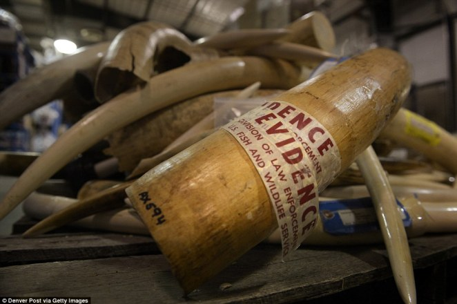 Despite a international ban on ivory trade, piles of polished and carved elephant tusks are housed at the repository