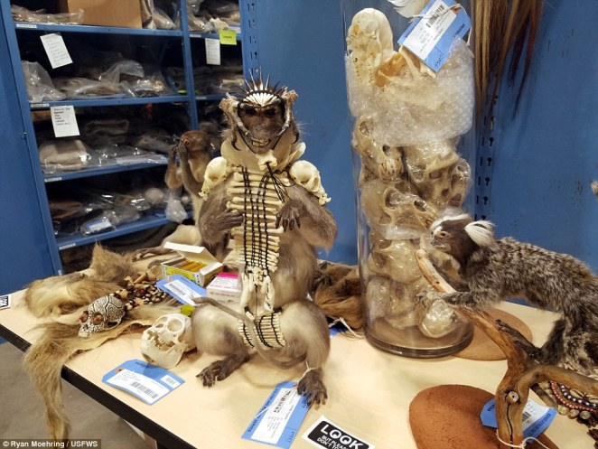 The items are stored on a secure environment and are used for educational purposes, a stuffed monkey covered in bones and bird talons, surrounded by a container of monkey skulls pictured above