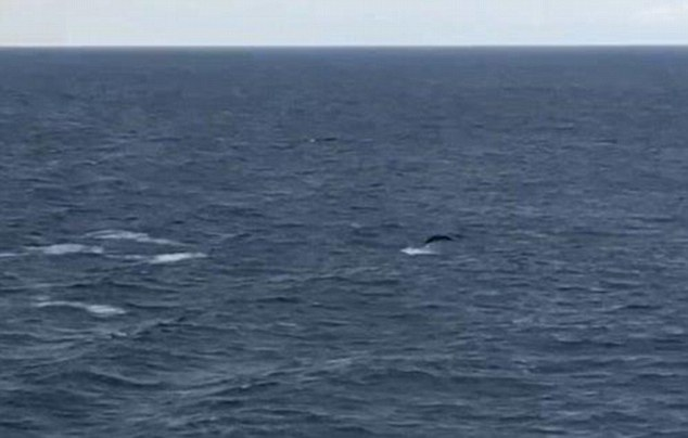 An enigma of the ocean has been photographed by passengers travelling on a ferry from Portsmouth to Spain. Confirmed sightings of True¿s beaked whales (circled) have only been made three times previously in the North Atlantic
