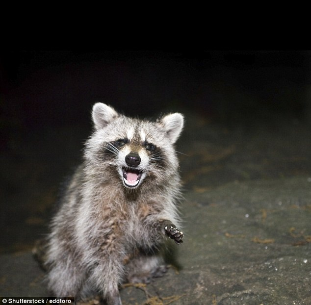 Living raccoons spotted in the area have appeared to be infected, as well, exhibiting the zombie-like symptoms associated with distemper of appearing confused, lacking coordination, and aggression, according to city personnel; This is a stock photo of a raccoon