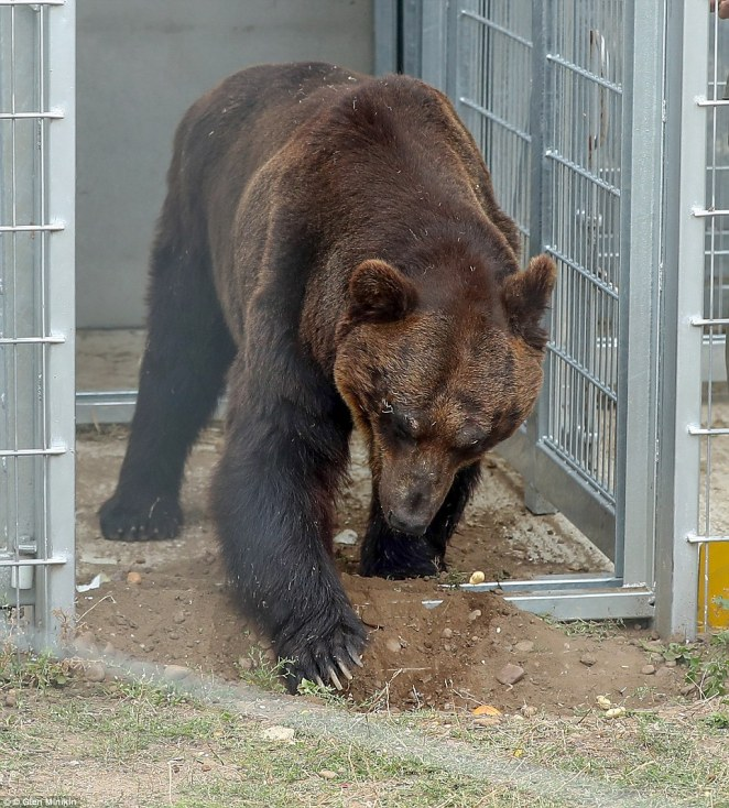 First step to a new life: Kai tests the ground with his claws, literally, as he is tempted to explore further. Eighteen months ago, Western tourists, shocked at the barren conditions, brought the four bears to the attention of Wild Welfare, a UK charity that helps captive wild animals