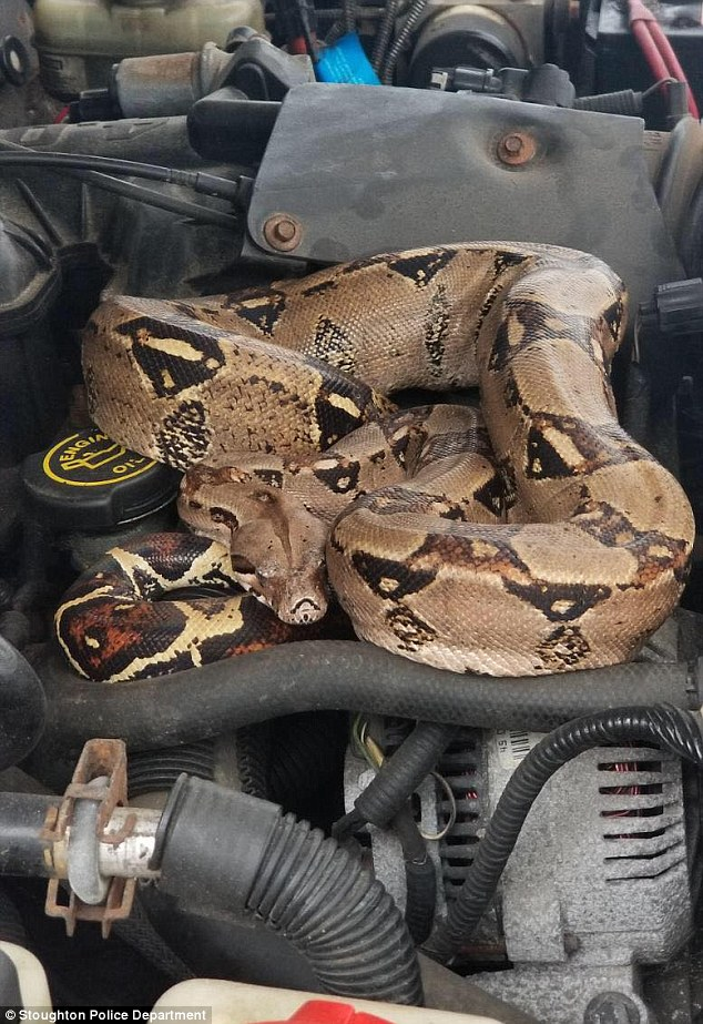 A five-foot-long Boa constrictor was found hiding under the hood of a Massachusetts car