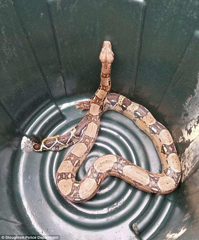 The 'jaw-dropping' boa was discovered Saturday and promptly removed by Stoughton police