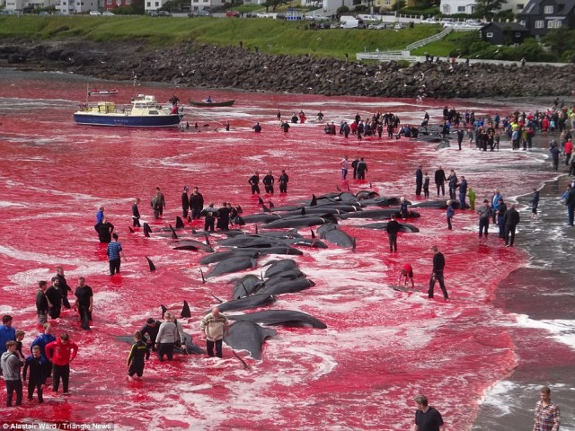 Hunting season: Dozens of villagers onVágar, Faroe Islands, gather to help out in the hunting and butchering of a pod of some 180 whales