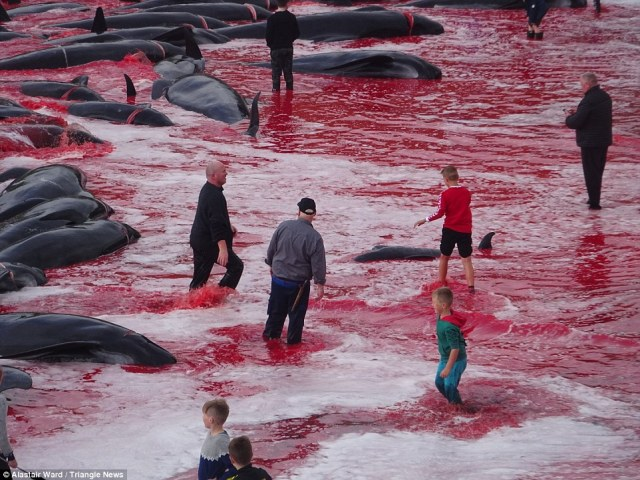 The local government says the annual whale hunts ensures that those living on the Faroe Islands, which offers limited opportunities for farming, are able to import less food from abroad