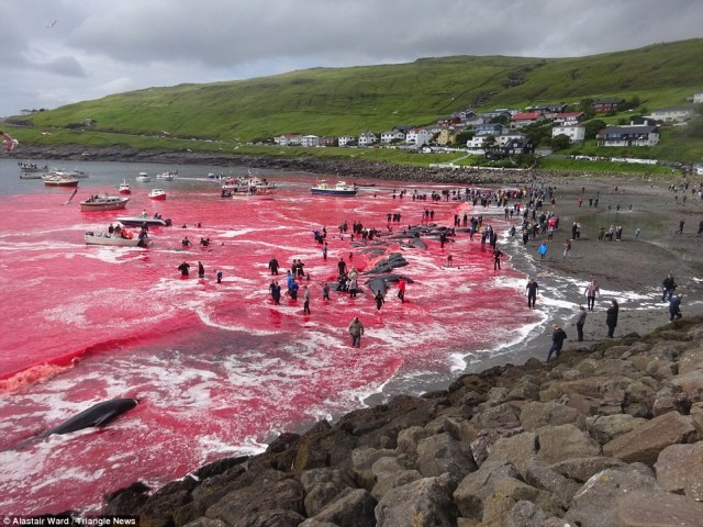 Tradition: Whale herding looks brutal, but the local government has hit back at critics saying the hunt is sustainable and each whale provides several hundreds of kilos of food for the locals throughout the harsh winter months