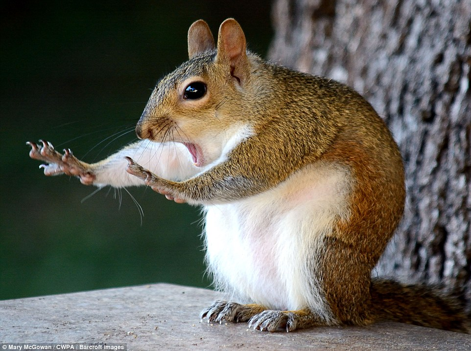Hold on: A very alarmed squirrel with its arms extended