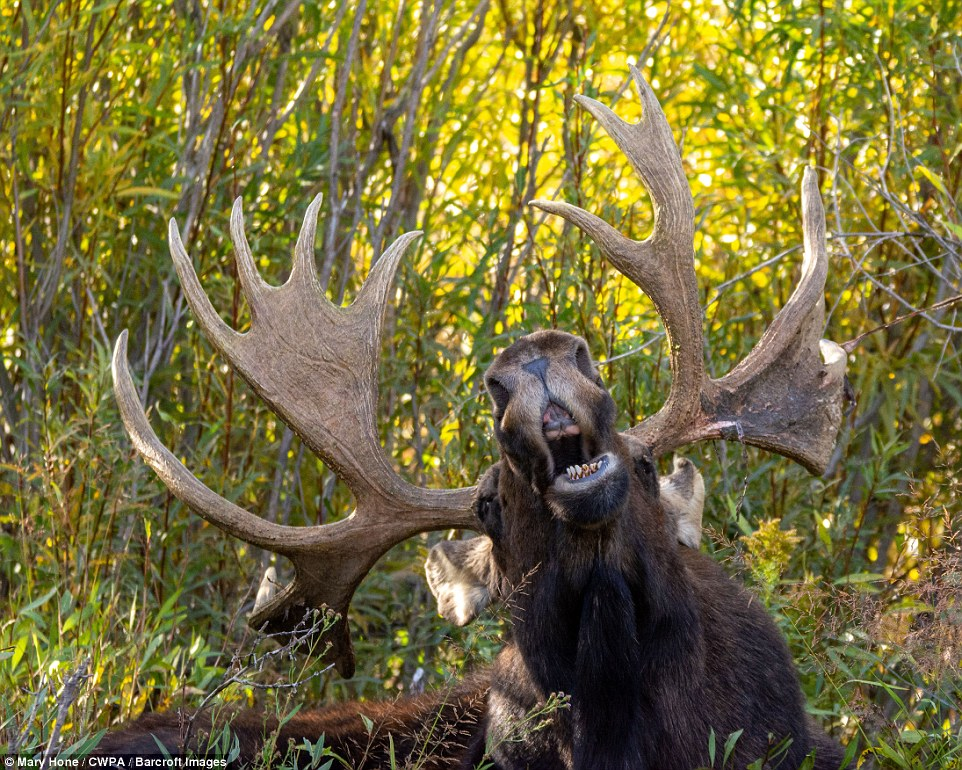 Gurning: A cheeky moose makes an unusual face and gurns at the camera