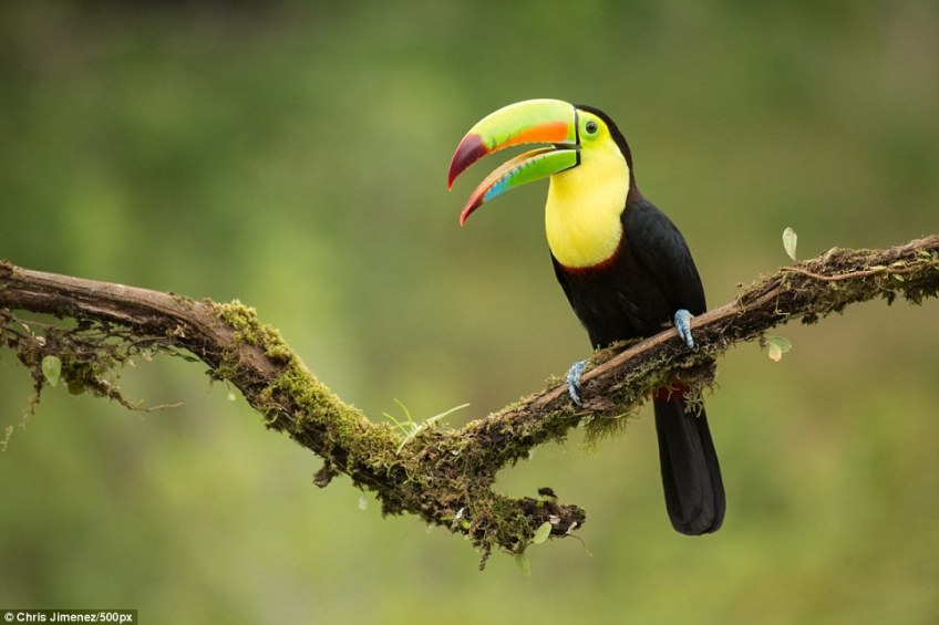 The keel-billed toucan boasts a colourful bill, which it can use with 'surprising dexterity and delicacy' to gather fruit and insects to eat