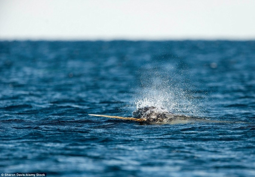 The mysterious narwhal, with giant protruding tusks, are notoriously tricky to spot