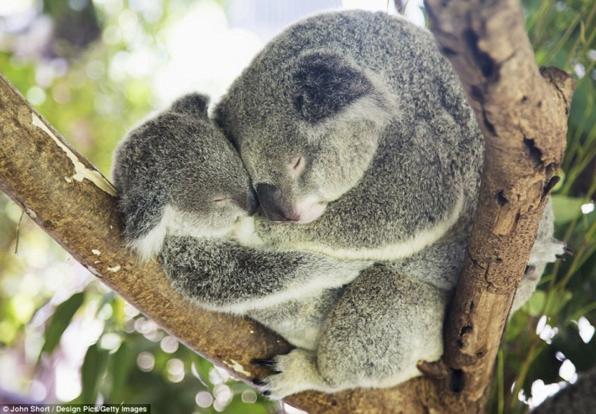 The koala is considered one of Australia's cutest native marsupials with big teddy bear-like ears and shiny black eyes