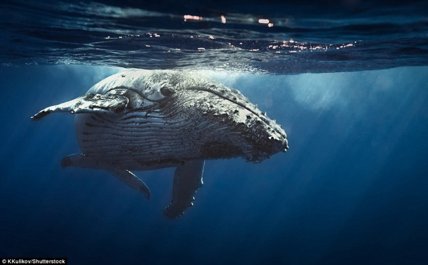 For a very memorable whale encounter, travellers are urged to head out on a kayak in spots including Hawaii