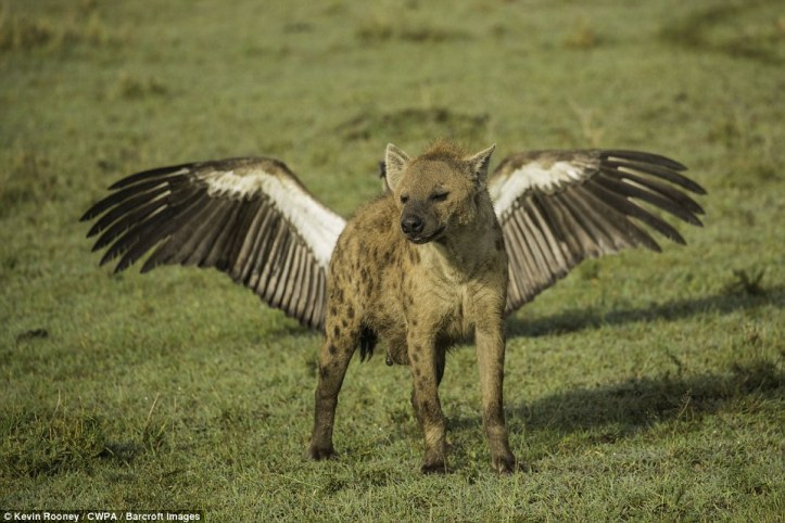 Animal hybrid: A hyena appears to have wings as a bird stretches out behind it