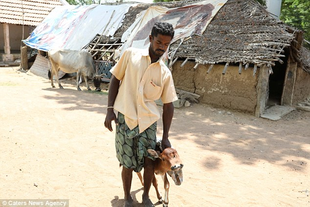The calf's owner Sanglimuthu (pictured with the calf) said everyone was stunned when they saw the animal and no-one, including vets, thought it would survive