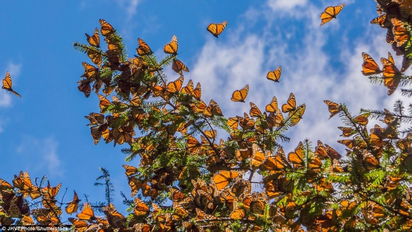 The monarch is one of the world's best-known butterflies with its distinct orange, black, and white coloured wings
