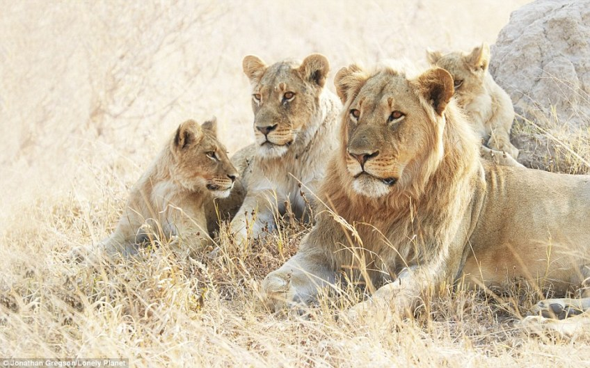 A pride of lions sit among the golden grasses carpeting Hwange National Park inwest Zimbabwe. The area is also home to large elephant herds and African wild dogs