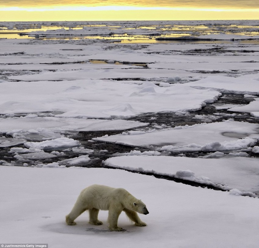 Polar bear populations have been hit by climate change, with the depletion of sea ice leaving them stranded and exhausted from long swims to the next viable spot