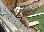 Boris, the bulldog, missed his owner so much he scaled a ladder to join him on the roof
