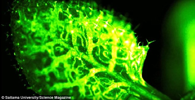 Scientists foundWhat they found that the plant lit up in response to wounds and even light touch.suggest this rapid firing of calcium is a 'warning response' that resembles the pain reflex seen in animals and humans