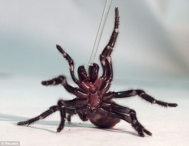Funnel web spiders are the worlds most dangerous spider, but if caught carefully, they can be used to help save lives
