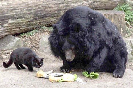 Image result for bears and cats
