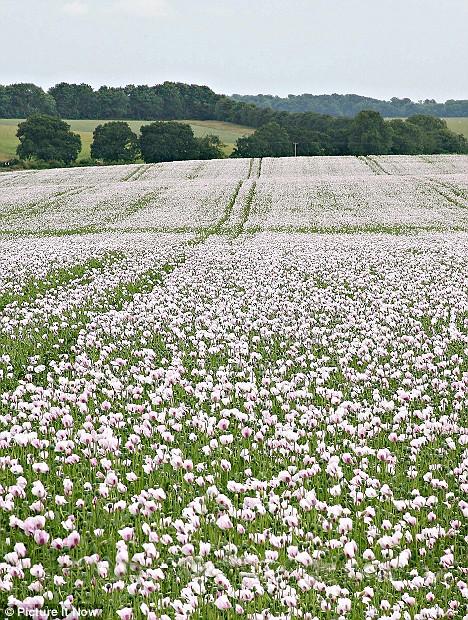 UK opium
