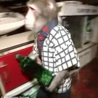 Only in Japan: A restaurant with monkeys as waiters