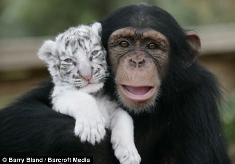 chimp and tiger