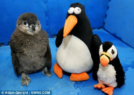 Staff bought a £3.99 toy penguin from the zoo shop which acts as a surrogate sibling to the chuffed chick - who cuddles up to its new friend all day. He also has a stuffed puffin
