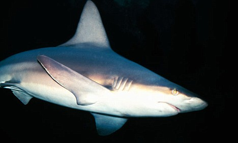 The porbeagle shark is one of the species found in the north east Atlantic that is threatened with extinction