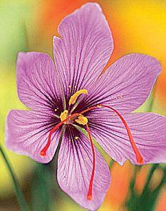 HISTORY IN YOUR GARDEN: Saffron Crocus (Crocus sativus ...