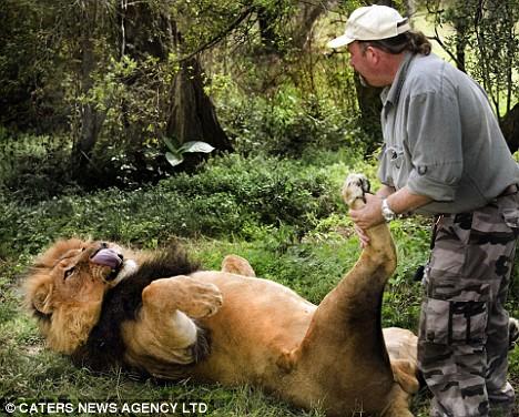Alex Larenty gives Jamu the lion a relaxing massage