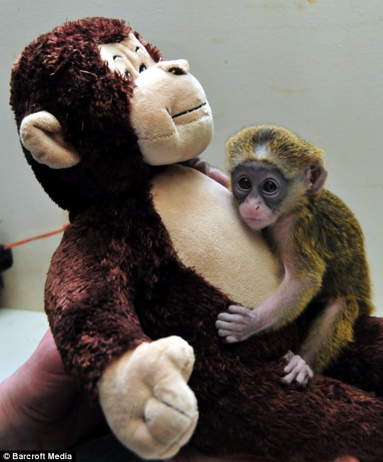 stuffed love the baby monkey whose surrogate mother is a cuddly toy