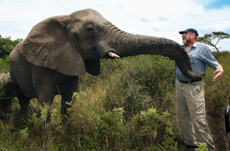 Amazing relationship: Lawrence with the elephant herd matriarch, Nana