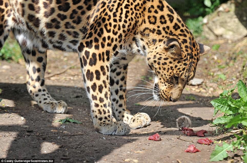 Leopard/ mouse