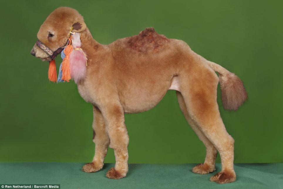A Camel?  Really?