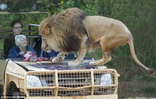 Don't mind me: The lion tucks into his food as the bemused tourists look on