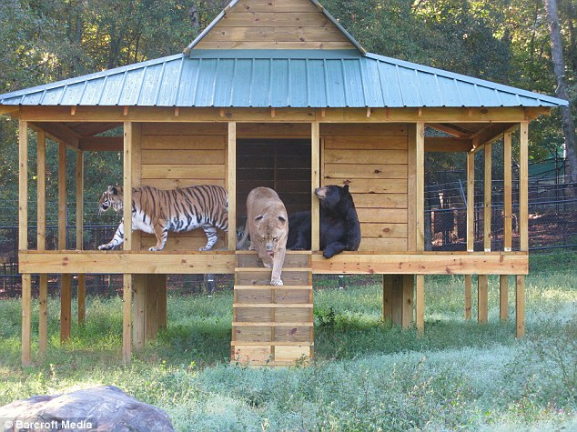 Baloo the bear, Leo the lion and Shere Khan the tiger