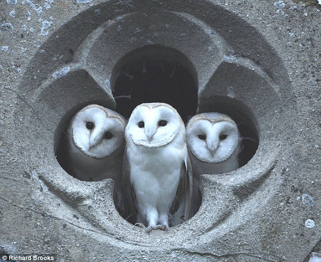 The owls were spotted in the top window of Christ Church, in Fulmodeston