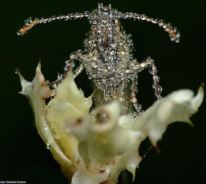 Os insetos aparecem estar completamente encharcados de água enquanto descansam.