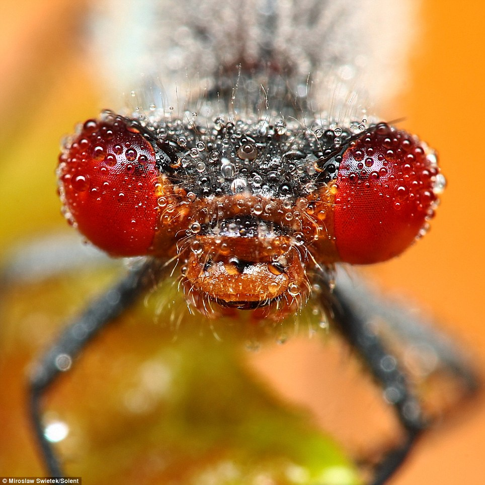 embun serangga