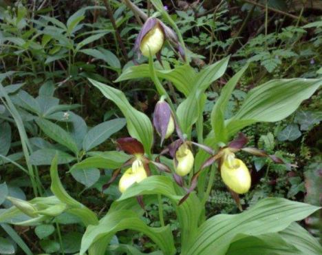 One of a kind: The lady's slipper orchid with its purple and yellow bloom